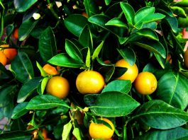 Witlofsalade met mandarijn